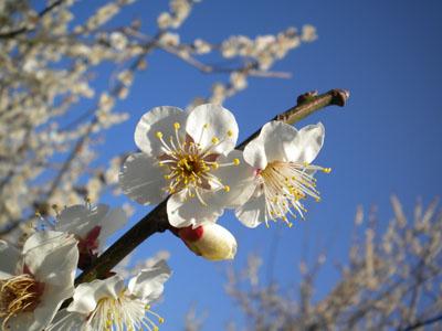 きっと梅の花
