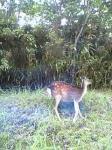 えびの高原の鹿