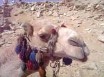 エジプトのラクダ