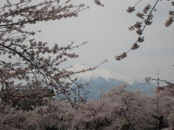 弘前 岩木山とさくら
