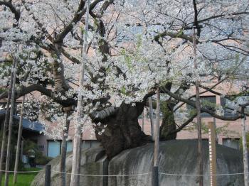 石割桜 2