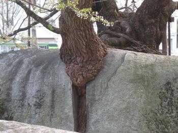 石割桜 3