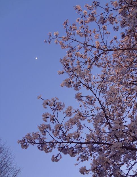 月と桜・2(20120331)