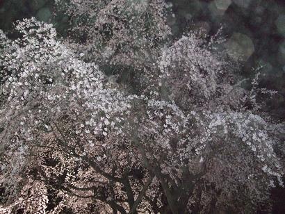 sakura_s1.jpg