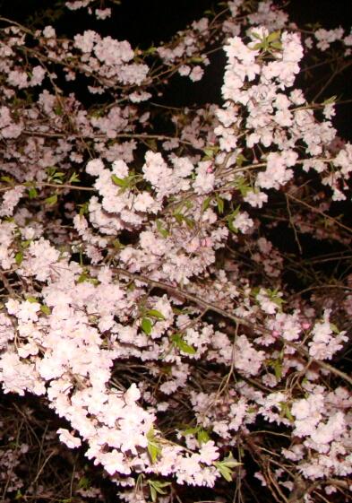 2010-Sakura-16