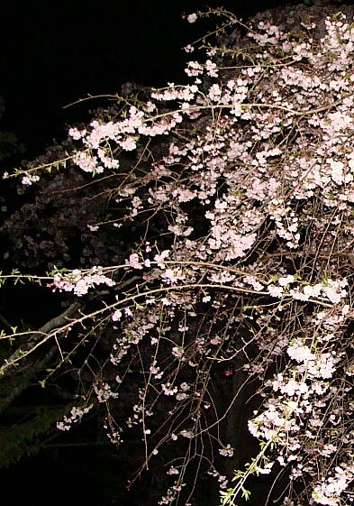 2010-Sakura-17