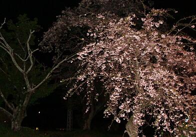 2010-Sakura-18