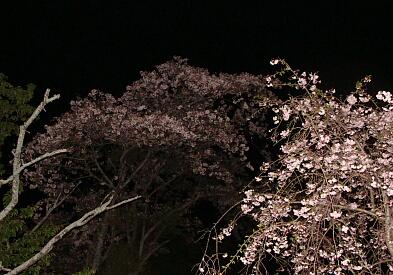 2010-Sakura-19