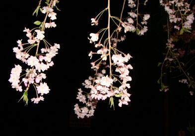 2010-Sakura-20