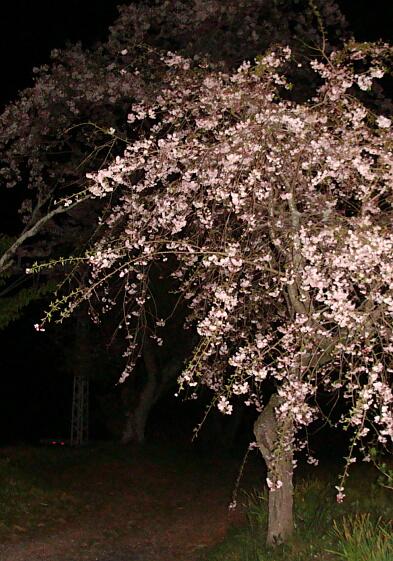 2010-Sakura-21