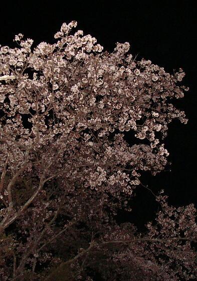 2010-Sakura-22