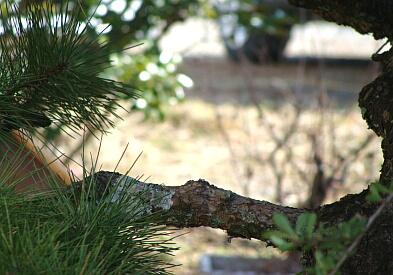 松の木2010-01
