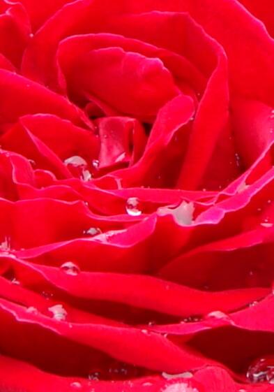 20100515放置でも薔薇は咲く-3