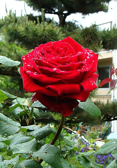 20100515放置でも薔薇は咲く-1
