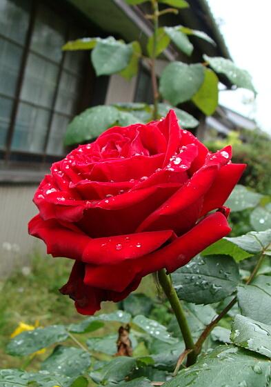 20100515放置でも薔薇は咲く-2