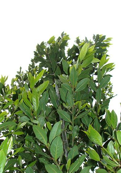 2010051601月桂樹は伸びる伸びる