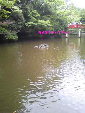 神池のカメ