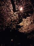 10-sakura.jpg