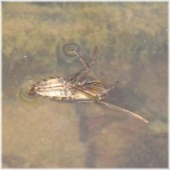 120401G 021マツモ虫