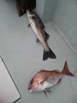 スズキ&鯛のダブル