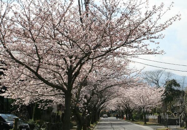 城ヶ崎の桜