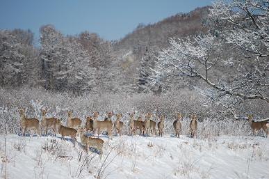 1・大雪・エゾシカの群れ