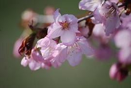 5・桜・エゾヤマザクラ