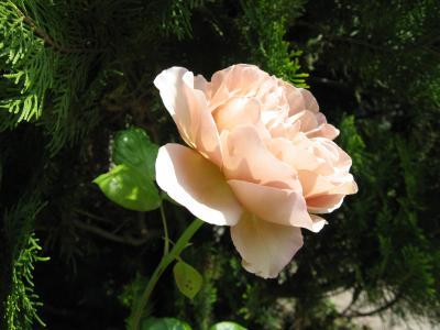 2011 05 22 Gバラ横顔