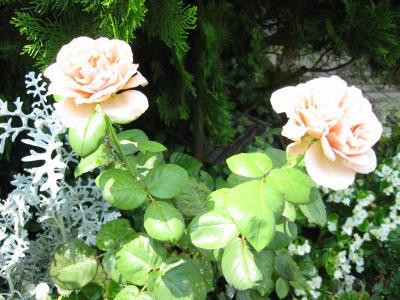 2011 07 06 バラ双子