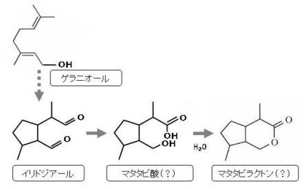 マタタビラクトン生合成