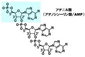 アデニル酸