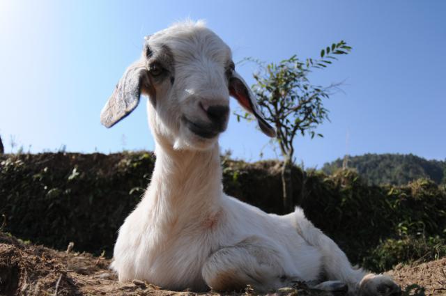 家の子山羊