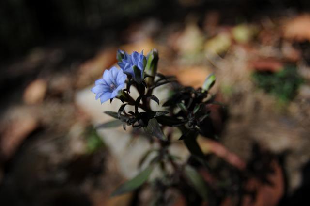森の青い花