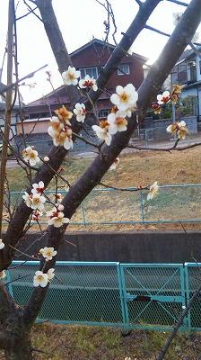 梅が咲いてる~♪