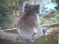 無愛想コアラ