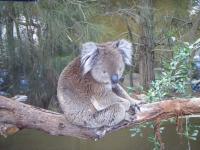 不機嫌コアラ