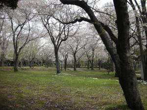 どこまでも桜
