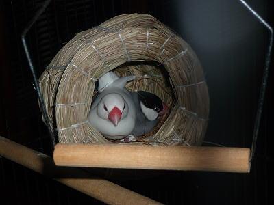ピーとクーの抱卵