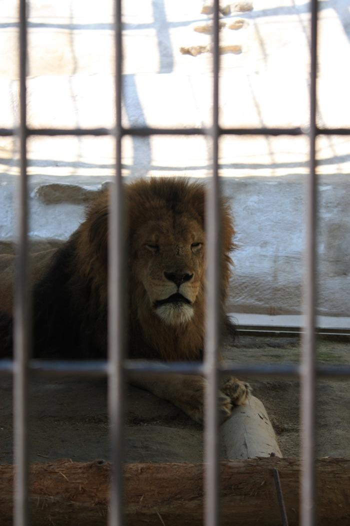 ライオン 福岡市動物園