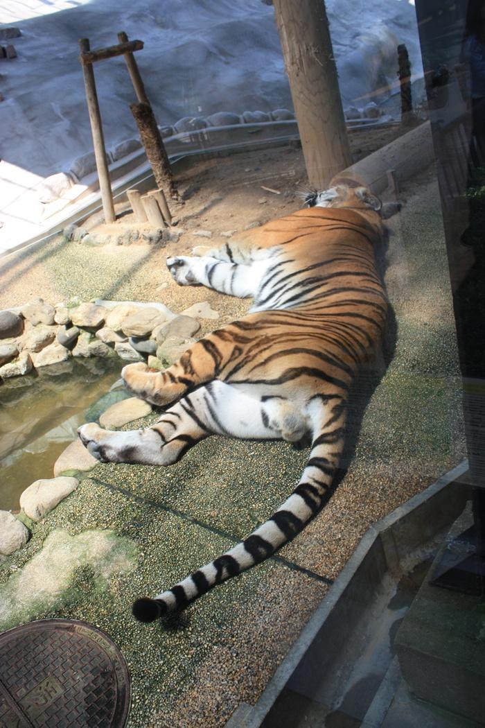 アムールトラ 福岡市動物園