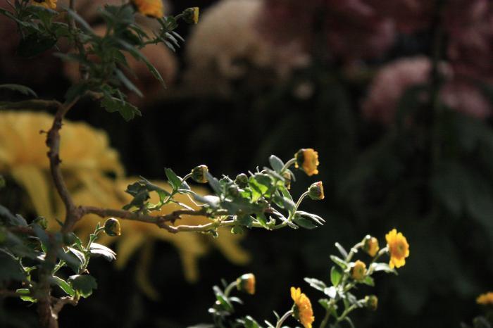 太宰府天満宮・菊花展の菊