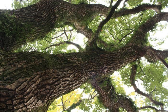 鳥飼八幡宮の木