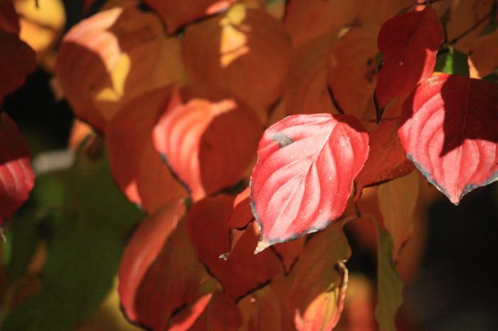 赤く色づいた葉っぱ