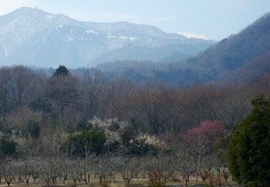 梅の木と大山