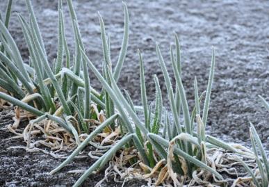霜が下りた葱