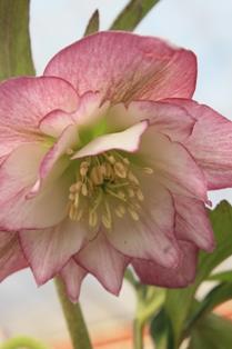 dd gurade pink 2011