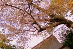 桜が咲いております