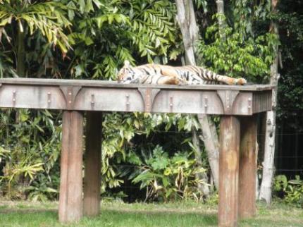 トラを見に行く