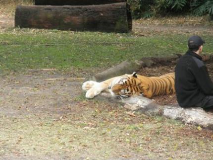 しましまのトラ