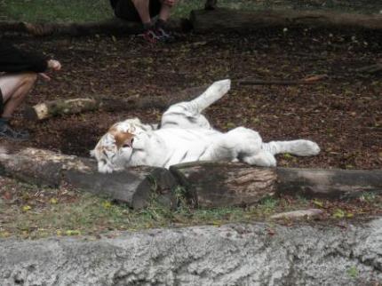 白いしましまのトラ